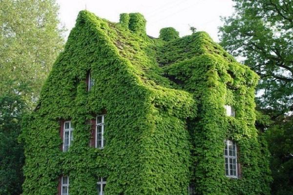La hiedra es una gran trepadora que recubrirá y aislará estéticamente la casa rápidamente