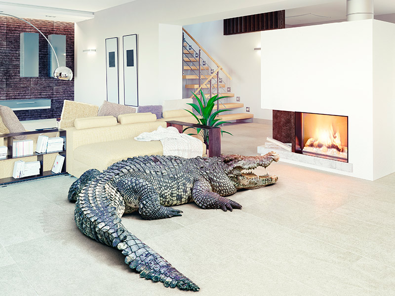 Com tenir un cocodril a casa