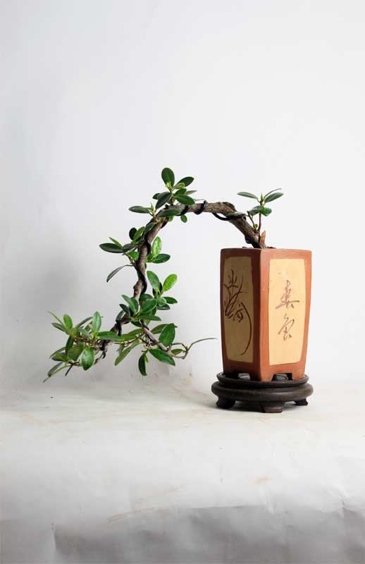 decoración zen bonsai